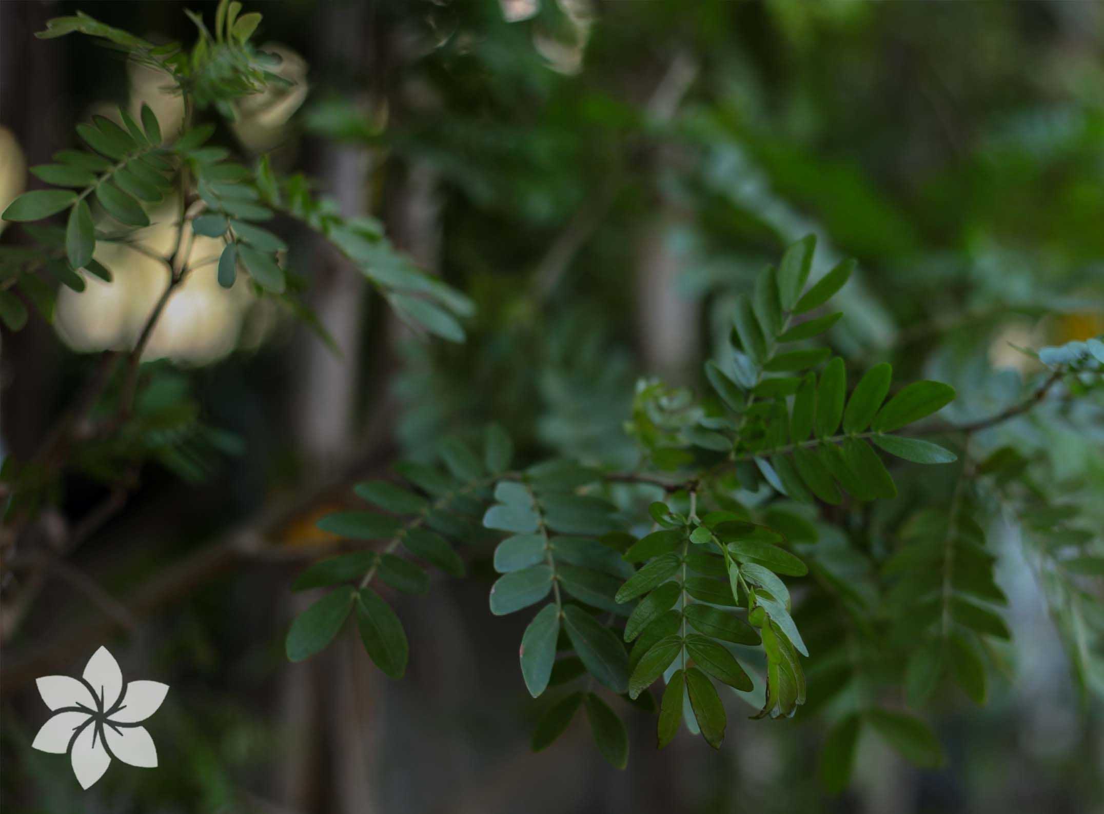 Silk Tree Albizia Lebbeck Ornamental Flowering Plants