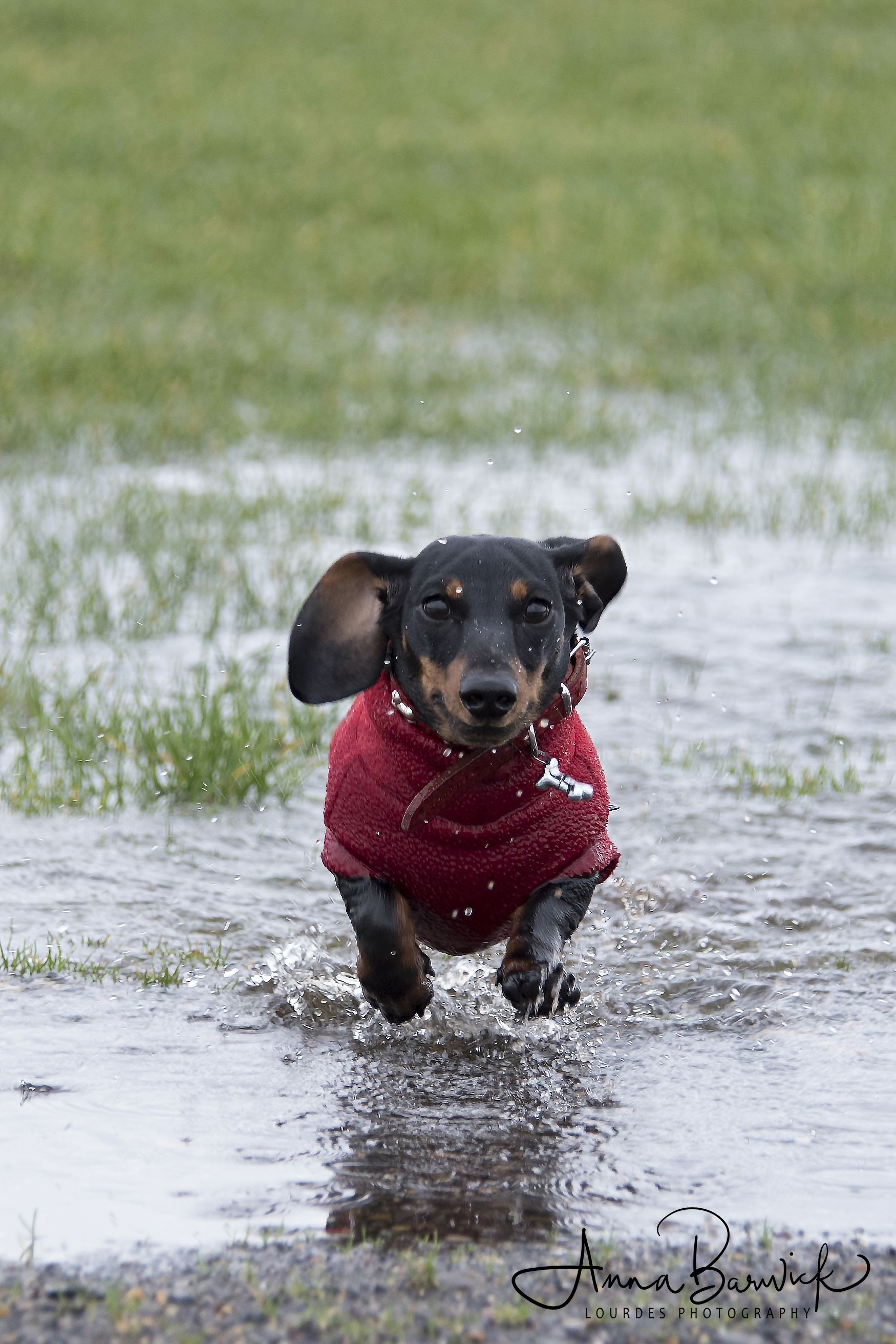 Cute Sausage Dog Puppy Splashing Through Puddle Dachshund Dog Dachshund Lovers Dachshund
