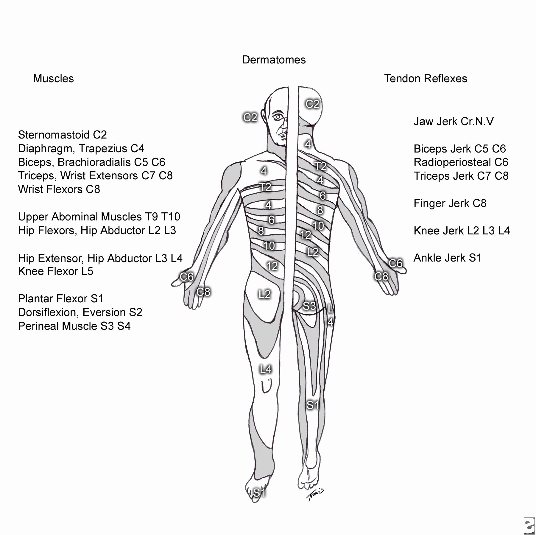 Image Result For Spinal Column Diagram