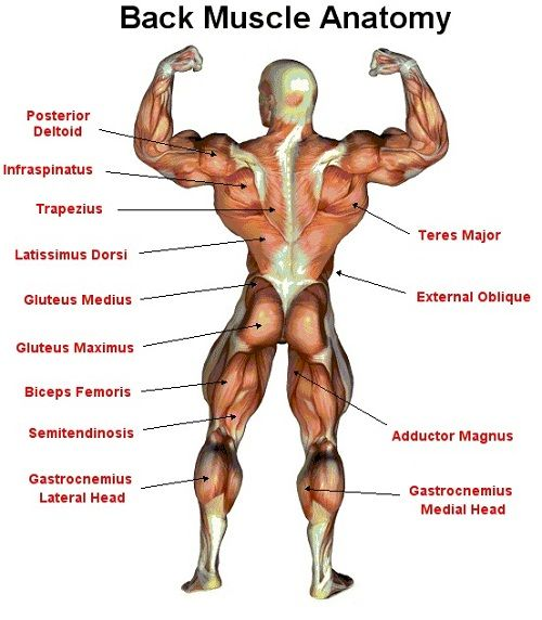 Back Muscles Diagram Workout Wiring Library
