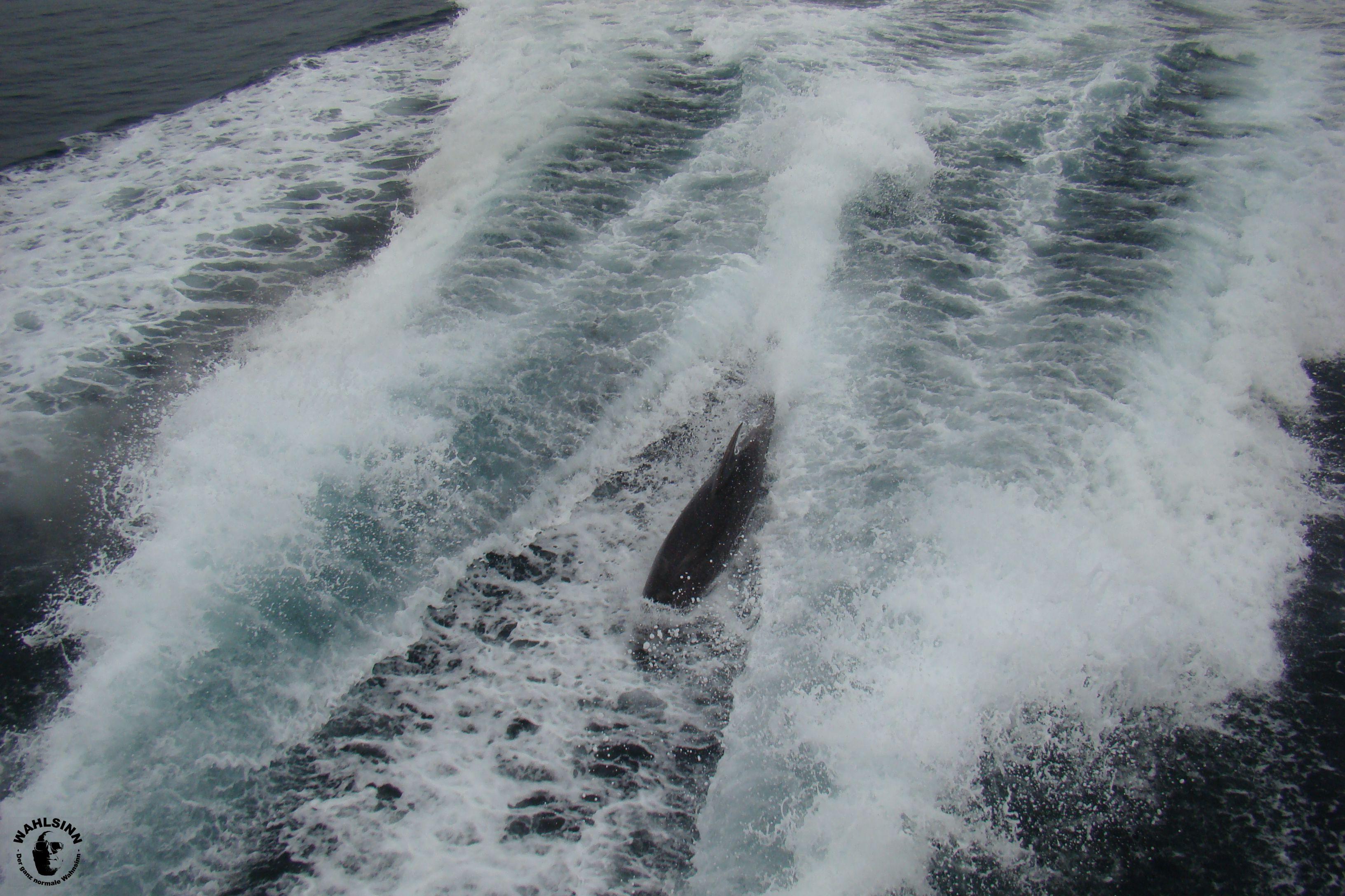 Neuseeland - Bay of island // Delphine