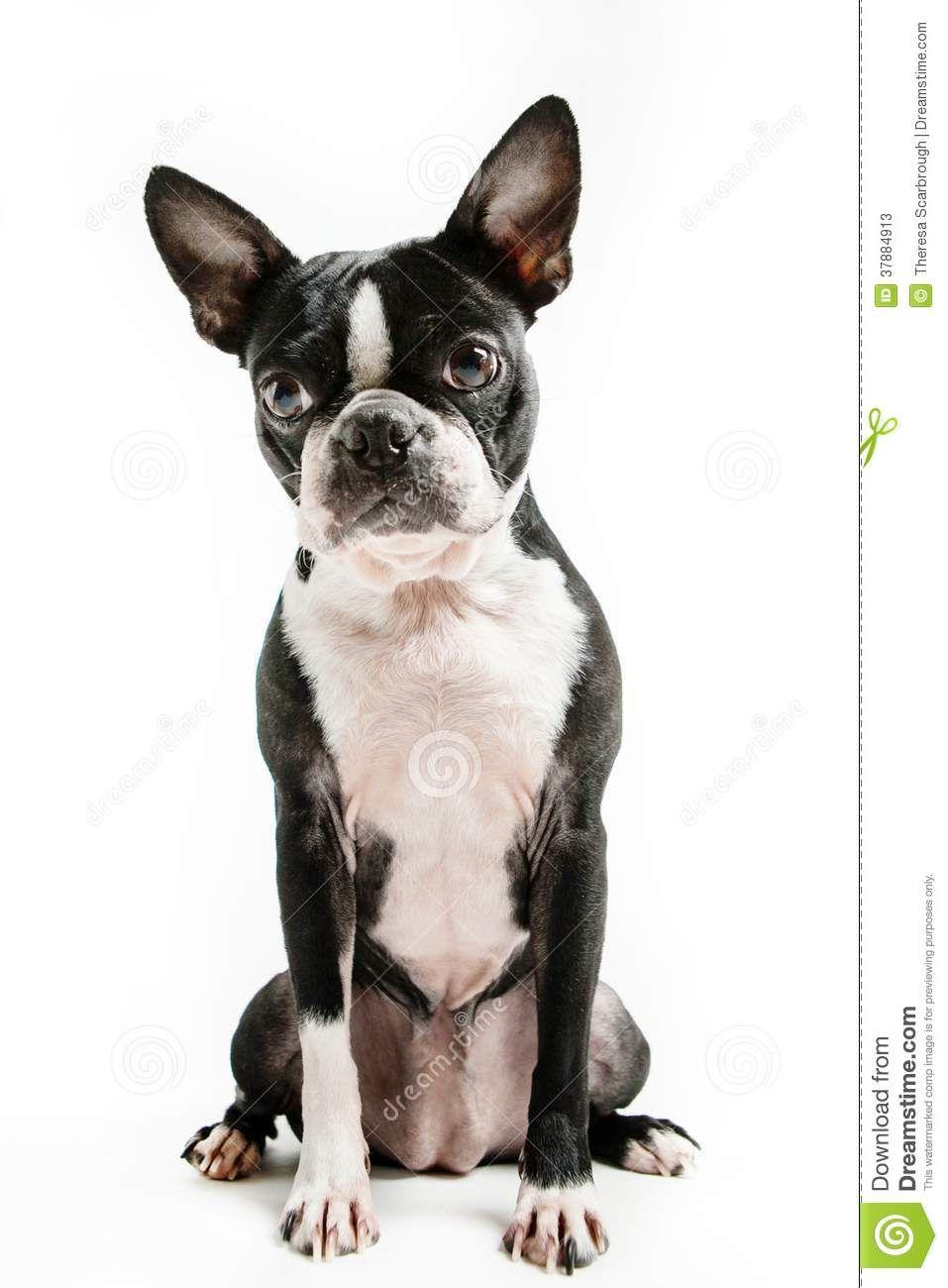 Boston Terrier Sitting Google Search Animals Images Boston Terrier Animals
