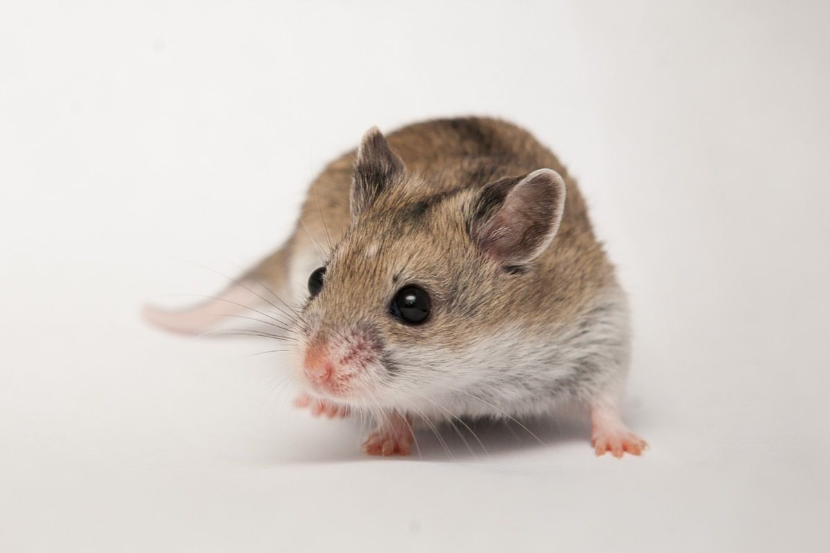This is the Chinese Hamster. (Cricetulus griseus) Chinese Hamsters are  often mistaken as dwarf hamsters. But Chinese Ha… | Dwarf hamster, Hamster,  Hamster species