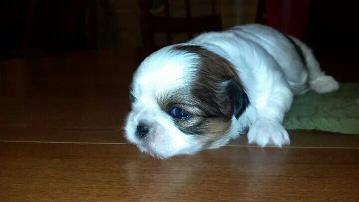 Chibi 2 Weeks Old Shih Tzu Puppy Chibi Gotcha Day