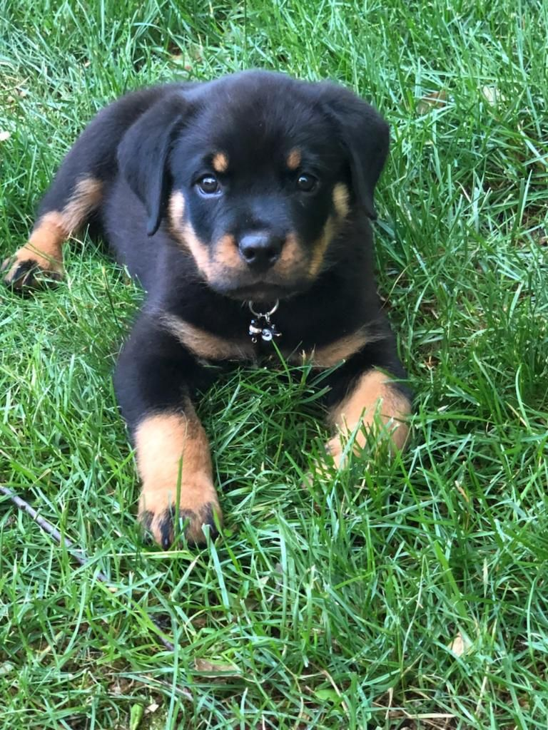 Tell Me This Rotty Pup Is Not The Cutest What A Handsome Pup Rottie Rottweiler Pup