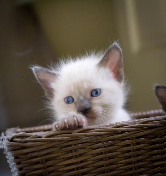 Siamese kitten Cute cats, Baby cats, Pretty cats