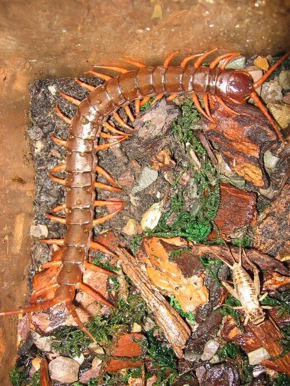 Giant Vietnamese Centipede Com Imagens Artropodes Animais