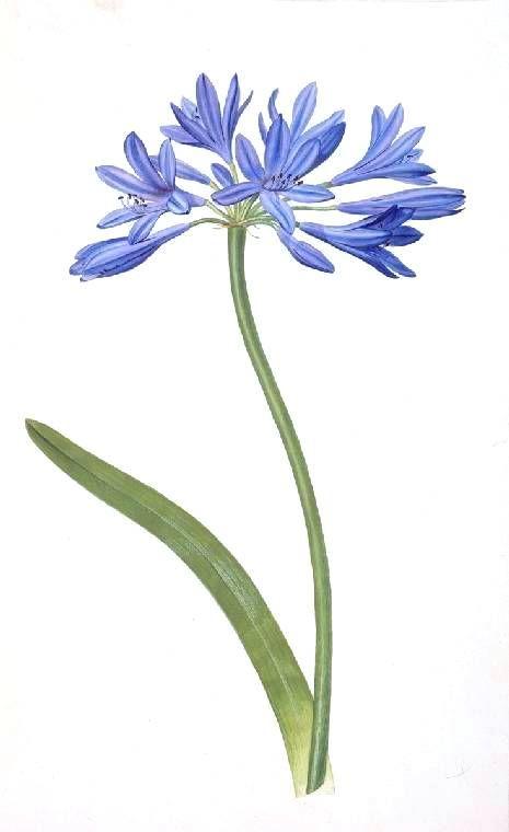 Botanical - Flower - Crinum Africanum Botanical watercolor, 18th Century. James Sowerby.
