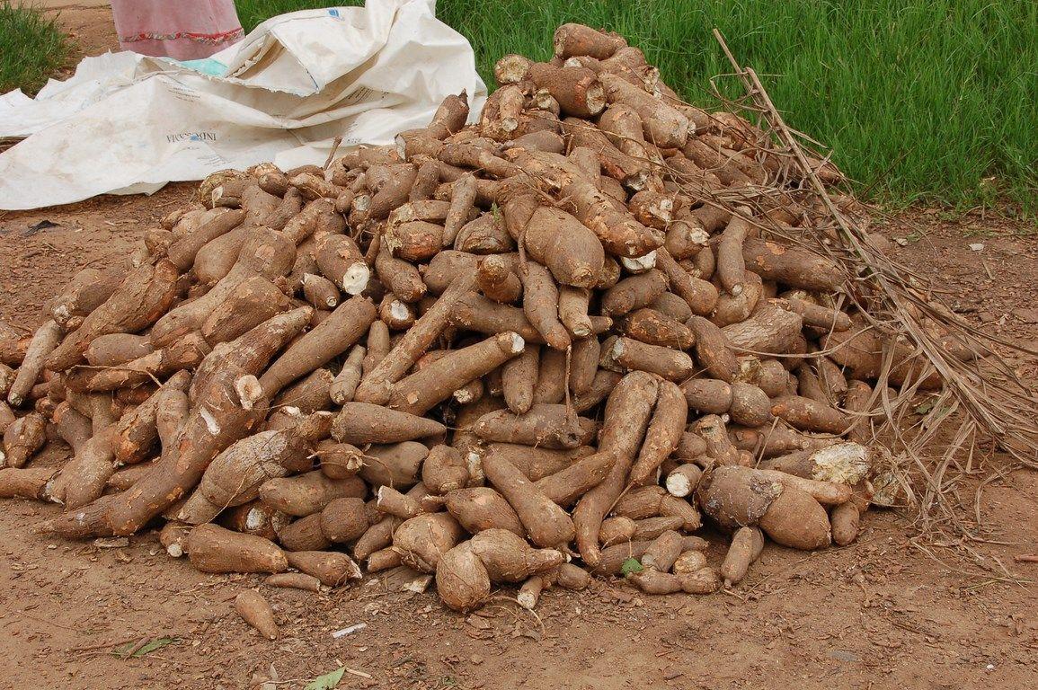 Yanomami diet - cassava root | Stuffed mushrooms ...