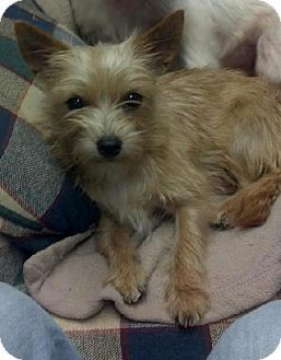 Spartanburg Sc Yorkie Yorkshire Terrier Cairn Terrier Mix