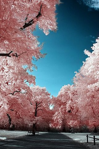 Cherry Blossoms Park Iphone Wallpaper Mariusz Dabrowski Blog Landscape Beautiful Nature Beautiful Landscapes