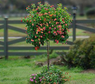 Pretty   Flower Trees!! Cottage Farms Confetti Lantana Patio Tree