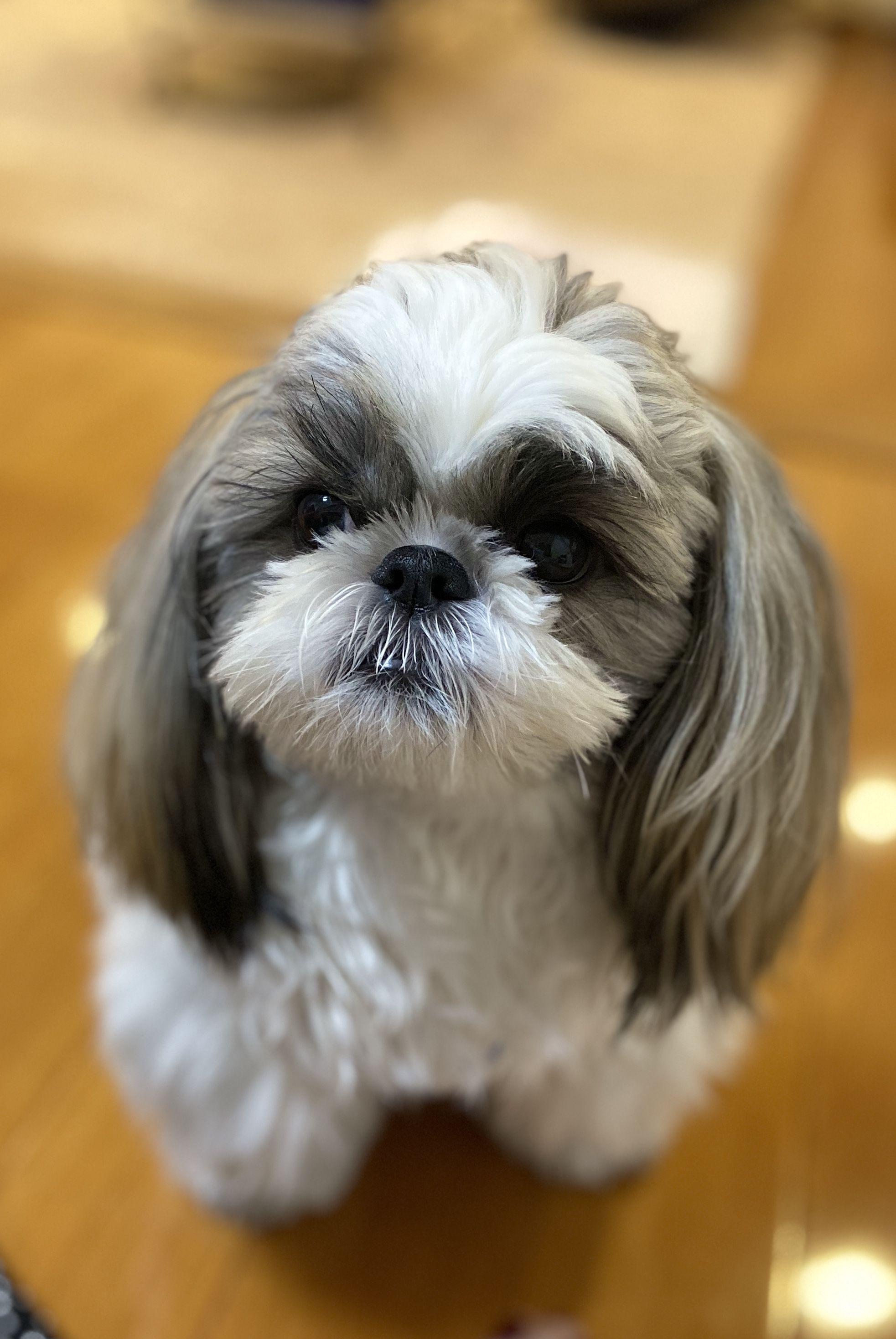 Shihtzu Shih Tzu Cute Dogs Cute Baby Animals