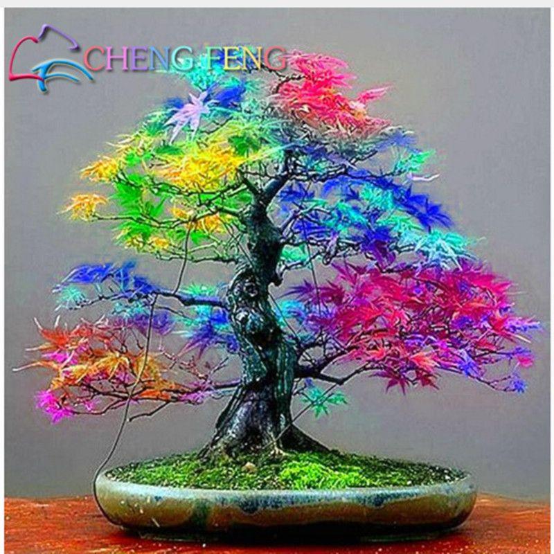 Seltene Mischung Farbe Ahorn Samen Ahorn Samen Bonsai Baum Pflanzen