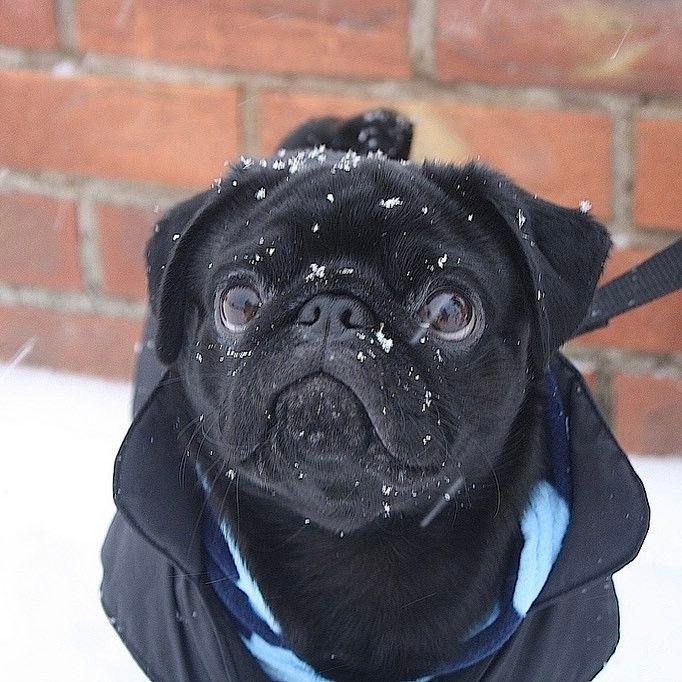 That Winter Snowflake Cute Dog Pug Pugs Chien Carlin