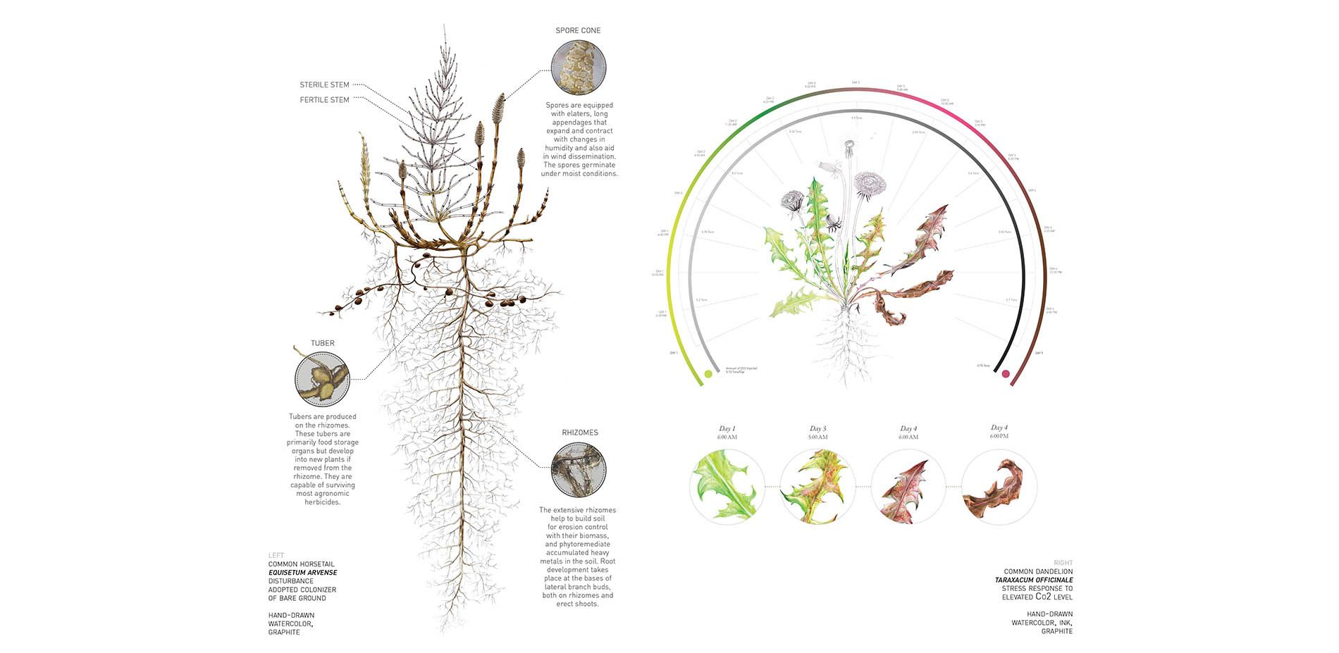 Horsetail Plant Diagram 1993 Mazda B2200 Radio Wiring Common Equisetum Arvense Disturbance Adopted Colonizer Of Bare Ground