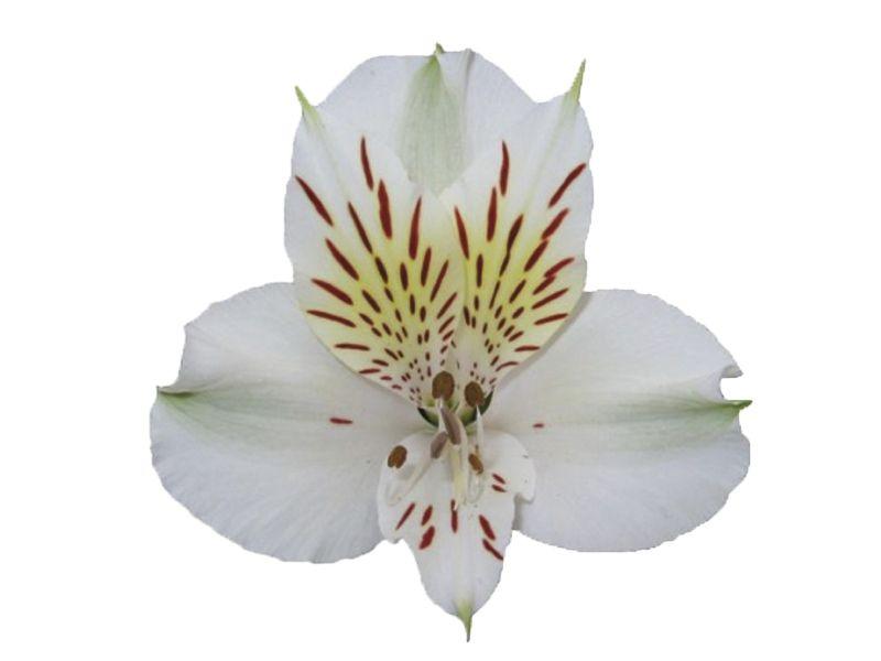 alstroemeria-emilia