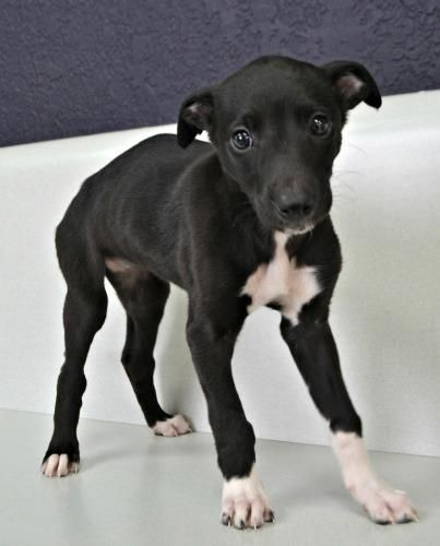 This Little Girl Is Avi Greyhounds Galt Greyhound Puppy