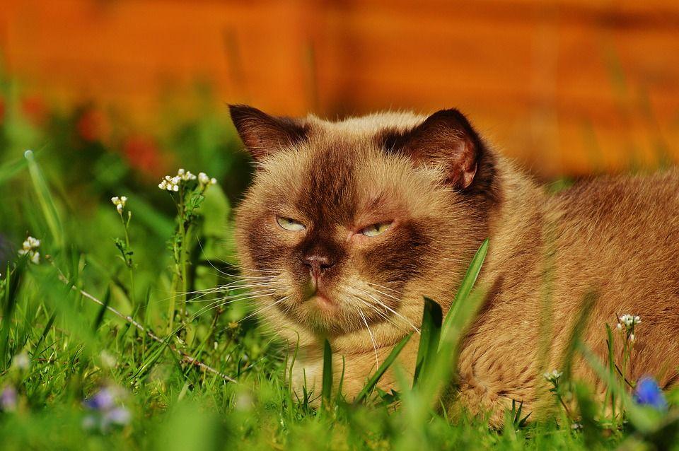 Free Image On Pixabay British Shorthair Concerns Kittens Cutest British Shorthair Cats