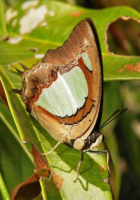 Common Nawab (Polyura athamas)