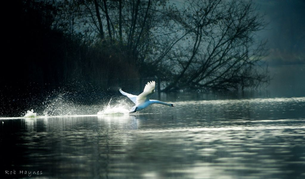 Swan in eclipse.