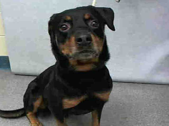 Johnny Bravo A1093620 Rottweiler Mix Rottweiler Rescue