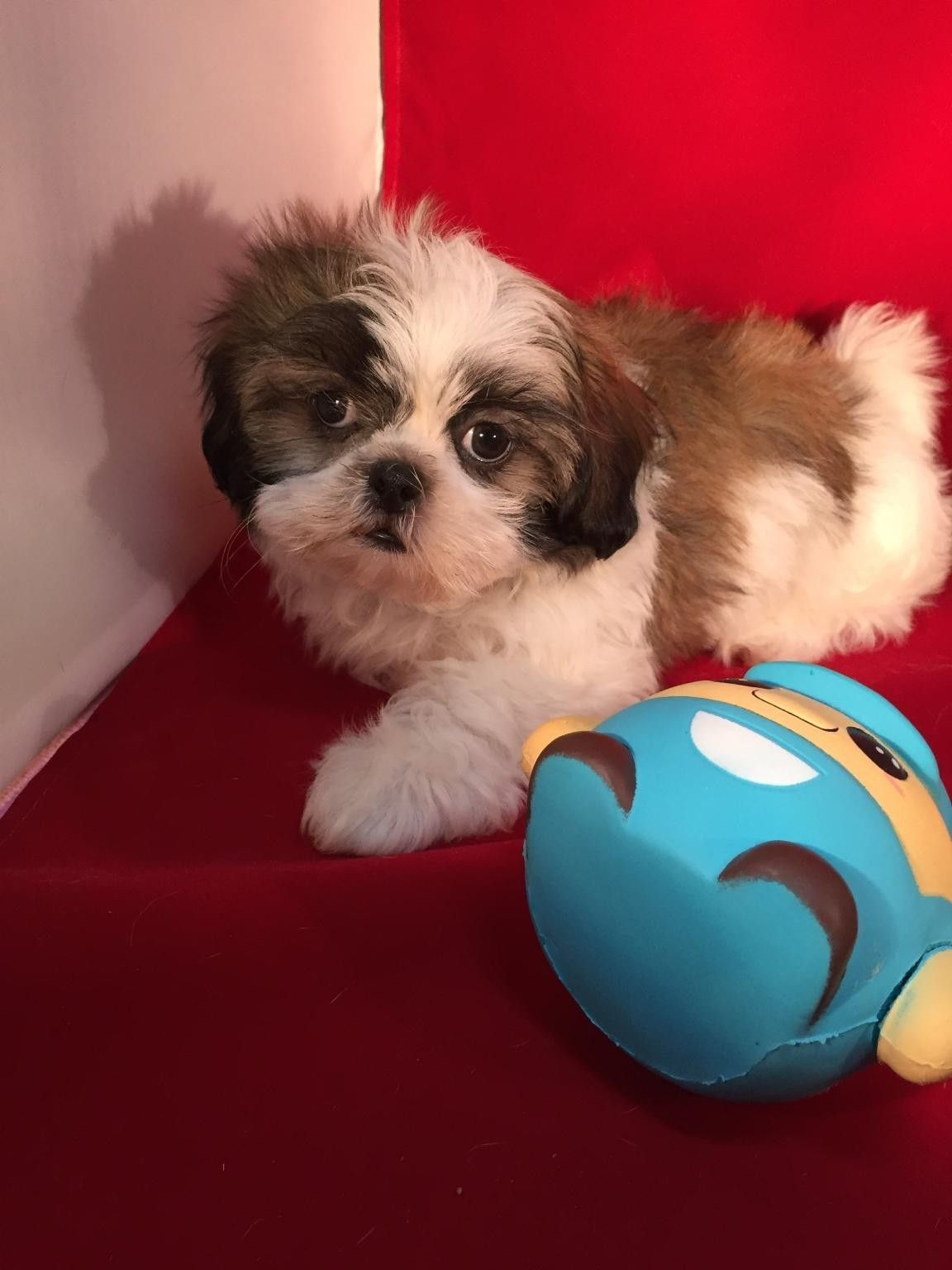 Nyc Shih Tzu Photos Shih Tzu Shih Tzu Puppy Cute Animals