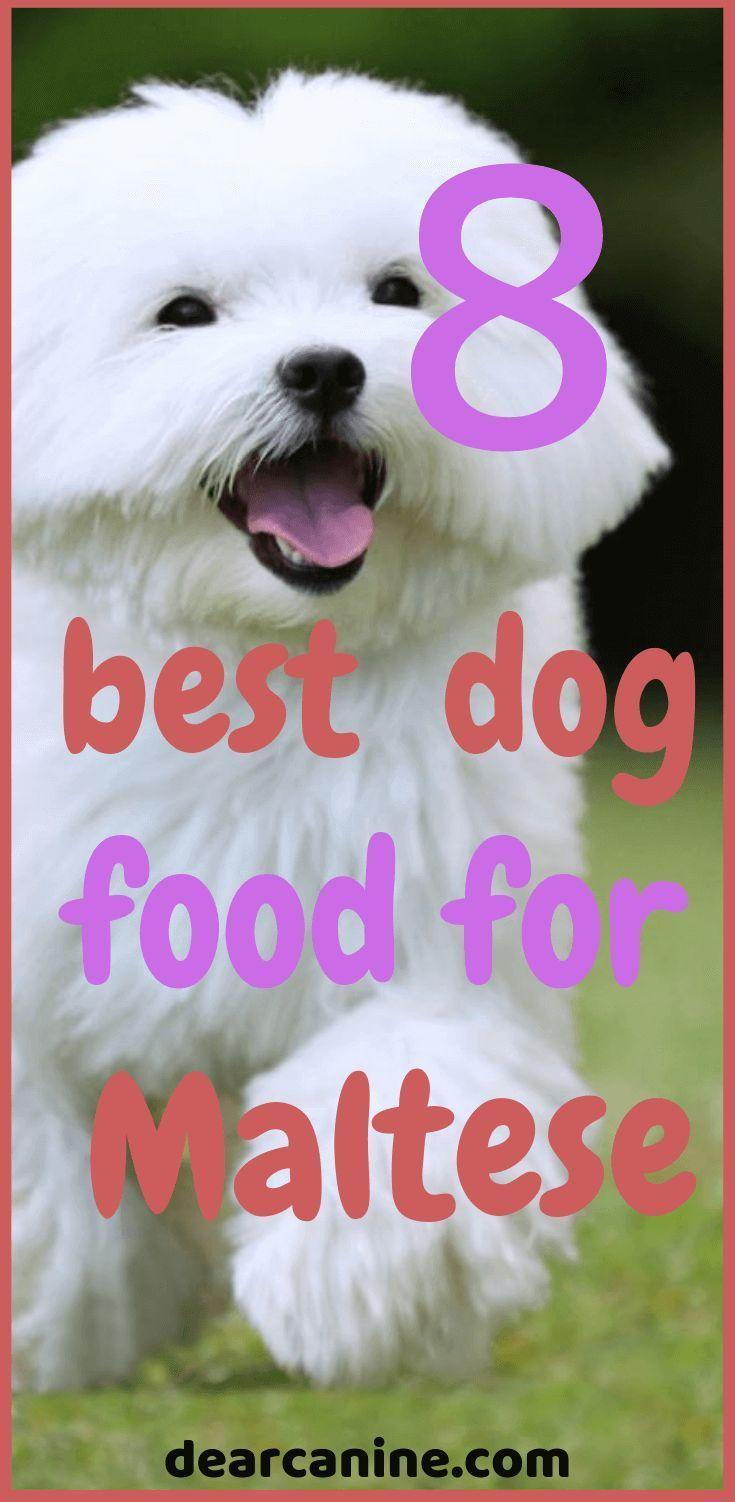 white maltese running in a green grass Best dog food