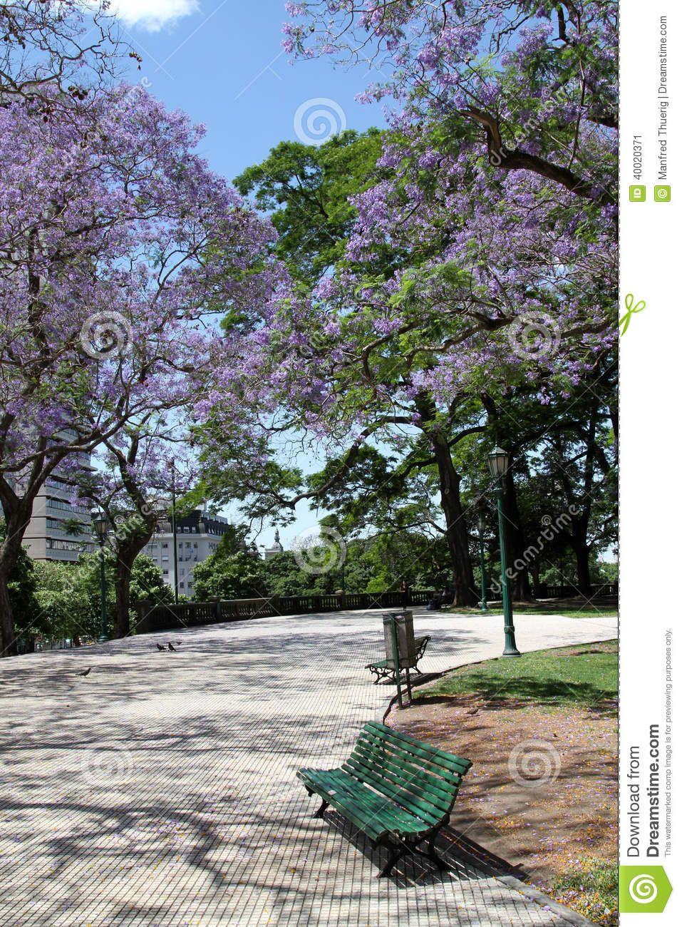 blooming jacaranda trees, Buenos Aires, Argentina
