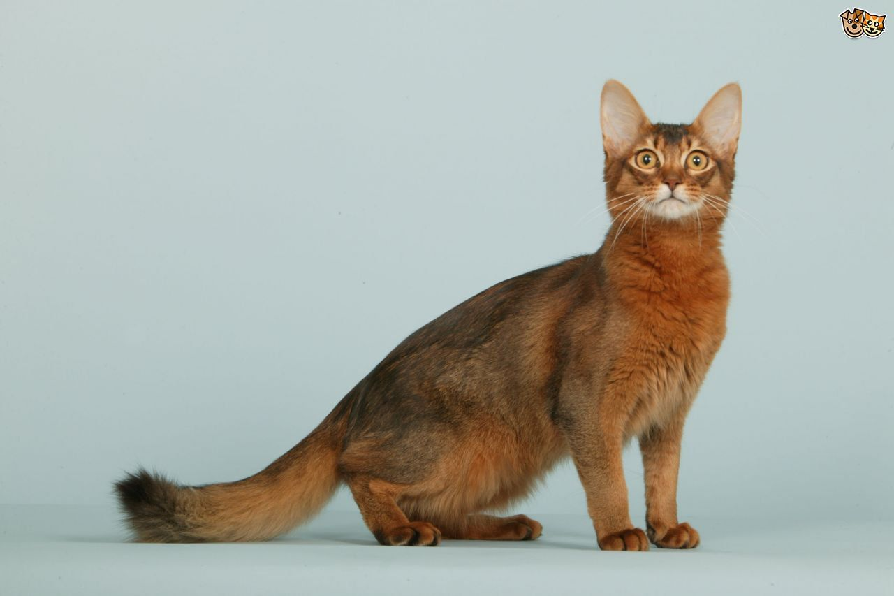 Somali Cat Breed (With images) Cat breeds, Cats, Cat species
