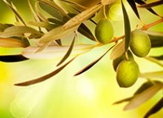 Understanding The Significance Of The Olive Tree And