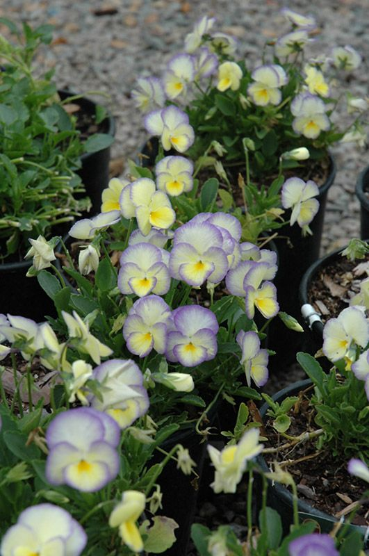 Etain pansy perennial white flowers with yellow center and purple etain pansy perennial white flowers with yellow center and purple edges from early spring till late fall mightylinksfo