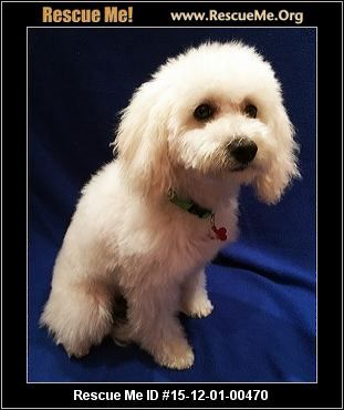 Meet Phoebe 5 Month Old 9 Lbs Bichon Poodle Mix Owner