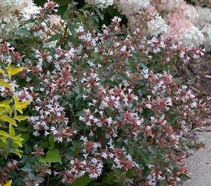 Abelia chinensis ruby anniversary white flower farm flower farm abelia chinensis ruby anniversary white flower farmwhite mightylinksfo Gallery