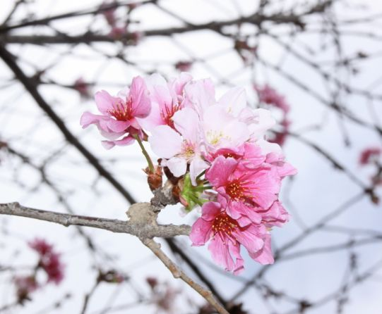 Cherry Blossoms In Balboa Park S Japanese Friendship Garden Spring Blooms San Diego Attractions Beautiful Gardens