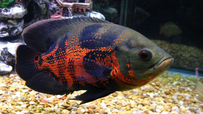 نگهداری از ماهی اسکار نگهداری ماهیان زینتی ماهی آکواریومی Oscar Fish Pet Fish Tiger Oscar Fish