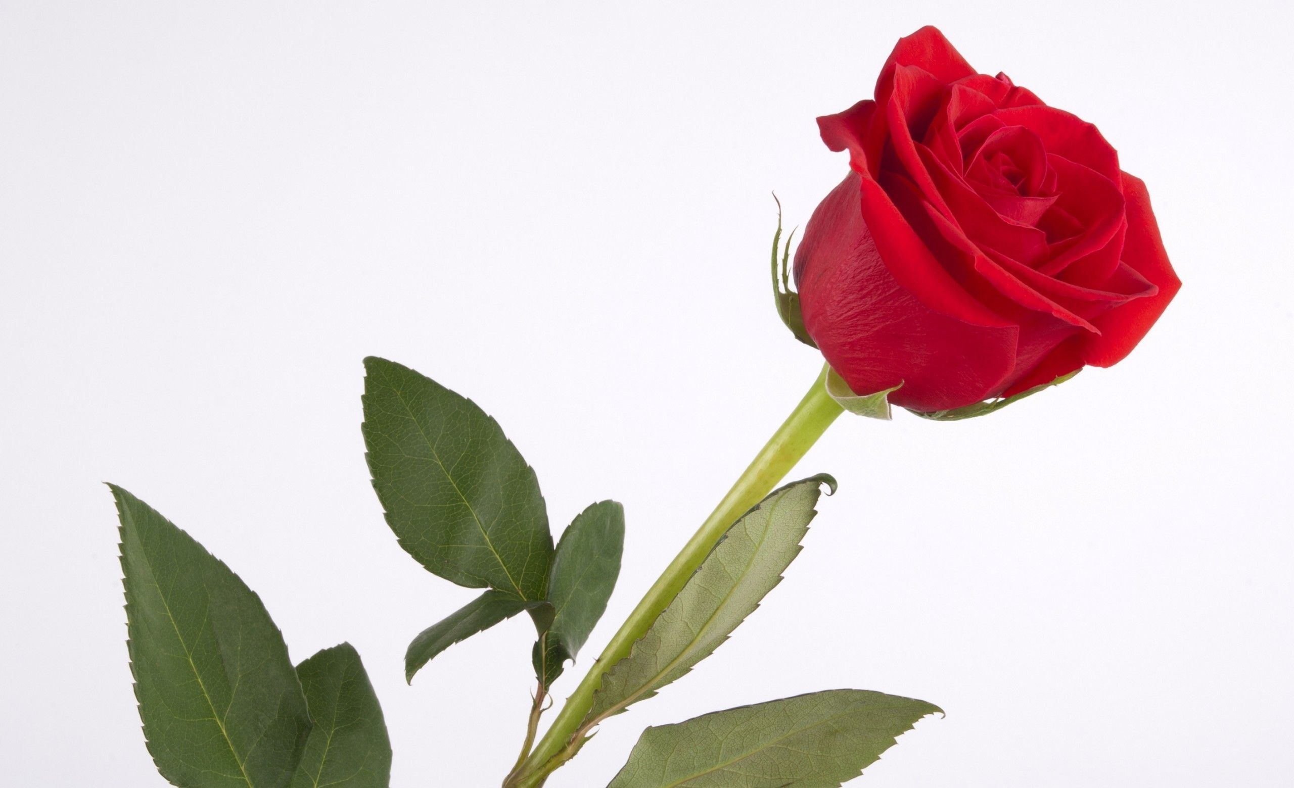 Single Red Rose Wallpapers Wallpaper Cave Single red