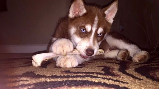 Siberian Husky Puppy For Sale In Auburn Ca Adn 31437 On