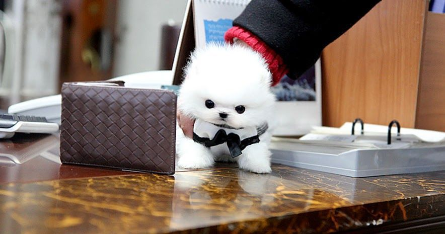TEACUP PUPPY: ★Teacup puppy for sale★ White teacup pomeranian soul :) #teacuppomeranianpuppy TEACUP PUPPY: ★Teacup puppy for sale★ White teacup pomeranian soul :) #teacuppomeranianpuppy TEACUP PUPPY: ★Teacup puppy for sale★ White teacup pomeranian soul :) #teacuppomeranianpuppy TEACUP PUPPY: ★Teacup puppy for sale★ White teacup pomeranian soul :) #teacuppomeranianpuppy