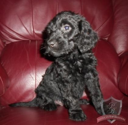 black goldendoodle puppy!!