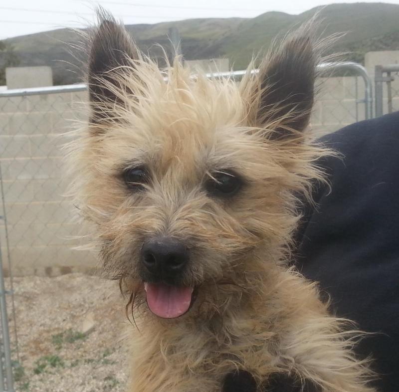 Adopt Bucky On Cairn Terrier Dogs Terrier