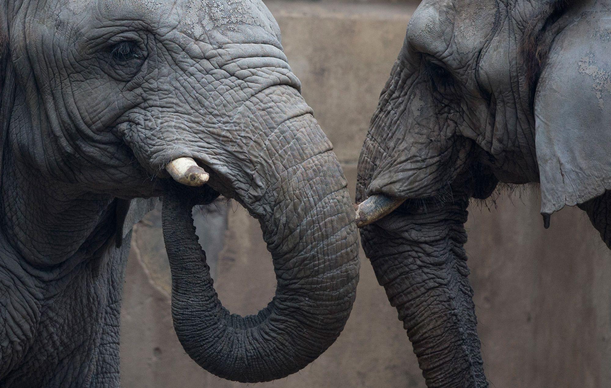 Una coppia di elefanti. - (Natacha Pisarenko, Ap/Ansa)