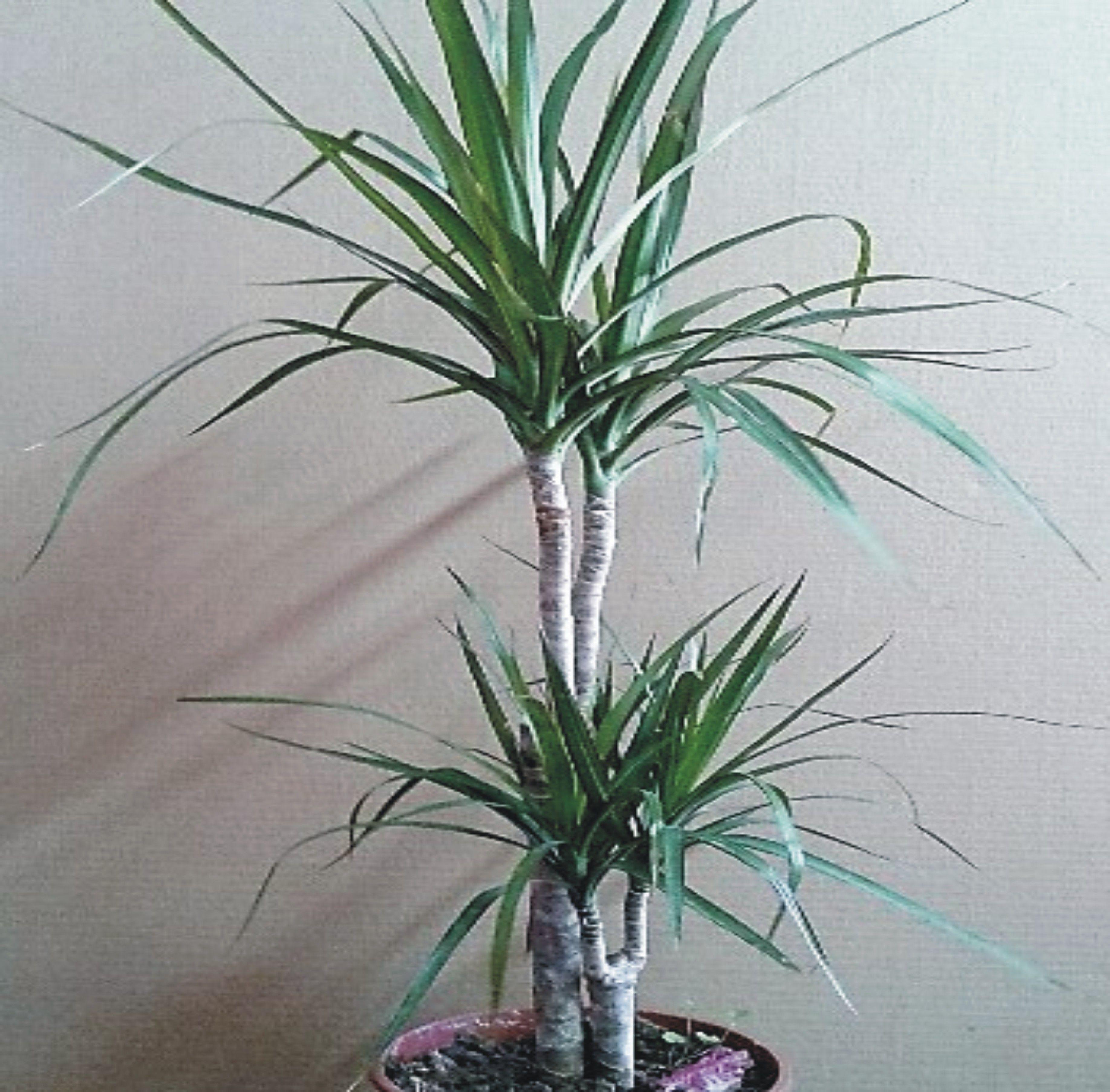 Dracena o palmera de interior planta de interior for Plantas de interior tipo palmera