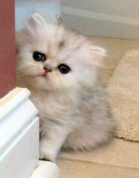 Persian Cat Rescue Md Cute Cats And Dogs Kitten Adoption Persian Cat Rescue