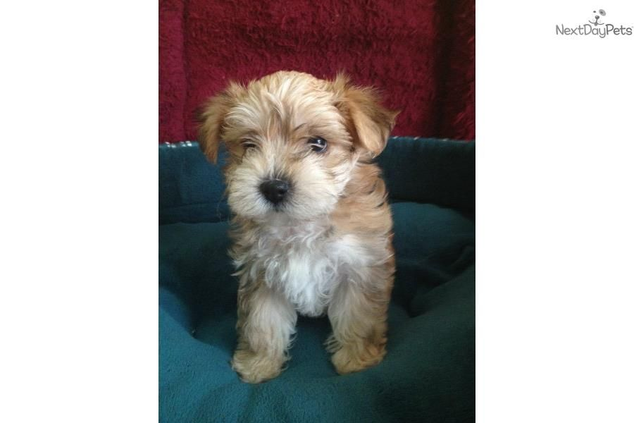 I am a cute morkie yorktese puppy looking for a home on