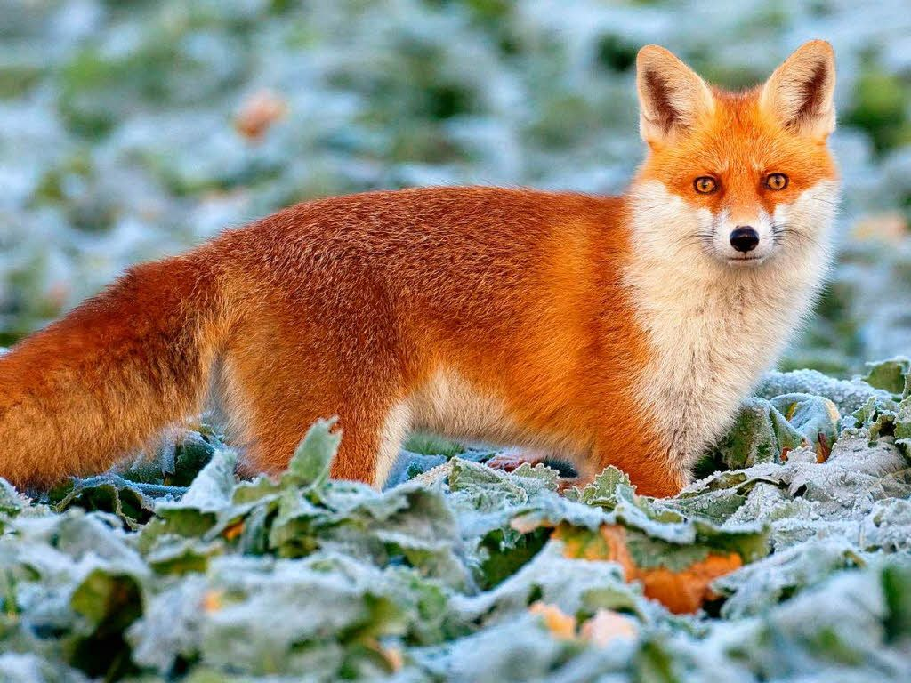 Pin By Sebastian Schulz On Foxy Red рыжие волосы Fox Fox Pictures Cute Wild Animals