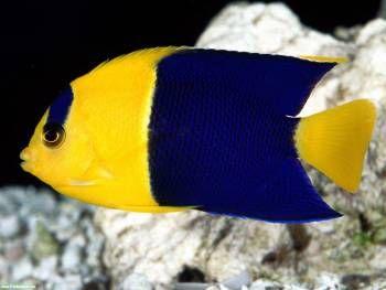 الأسماك الجميلة الاستوائية أسماك الزينة حوض السمك الأسماك والأزرق والأصفر والمناطق المدارية Yellow Fish Colorful Fish Sea Fish