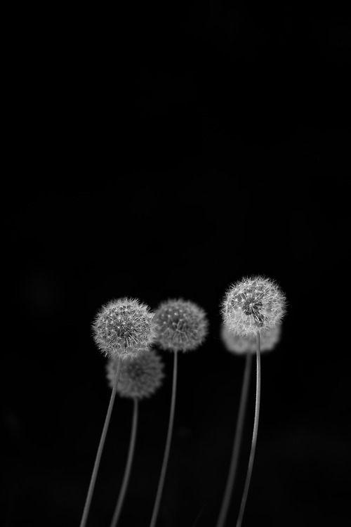 Come Follow Me Downthe Rabbit Hole White Photography Dandelion Black White Photos