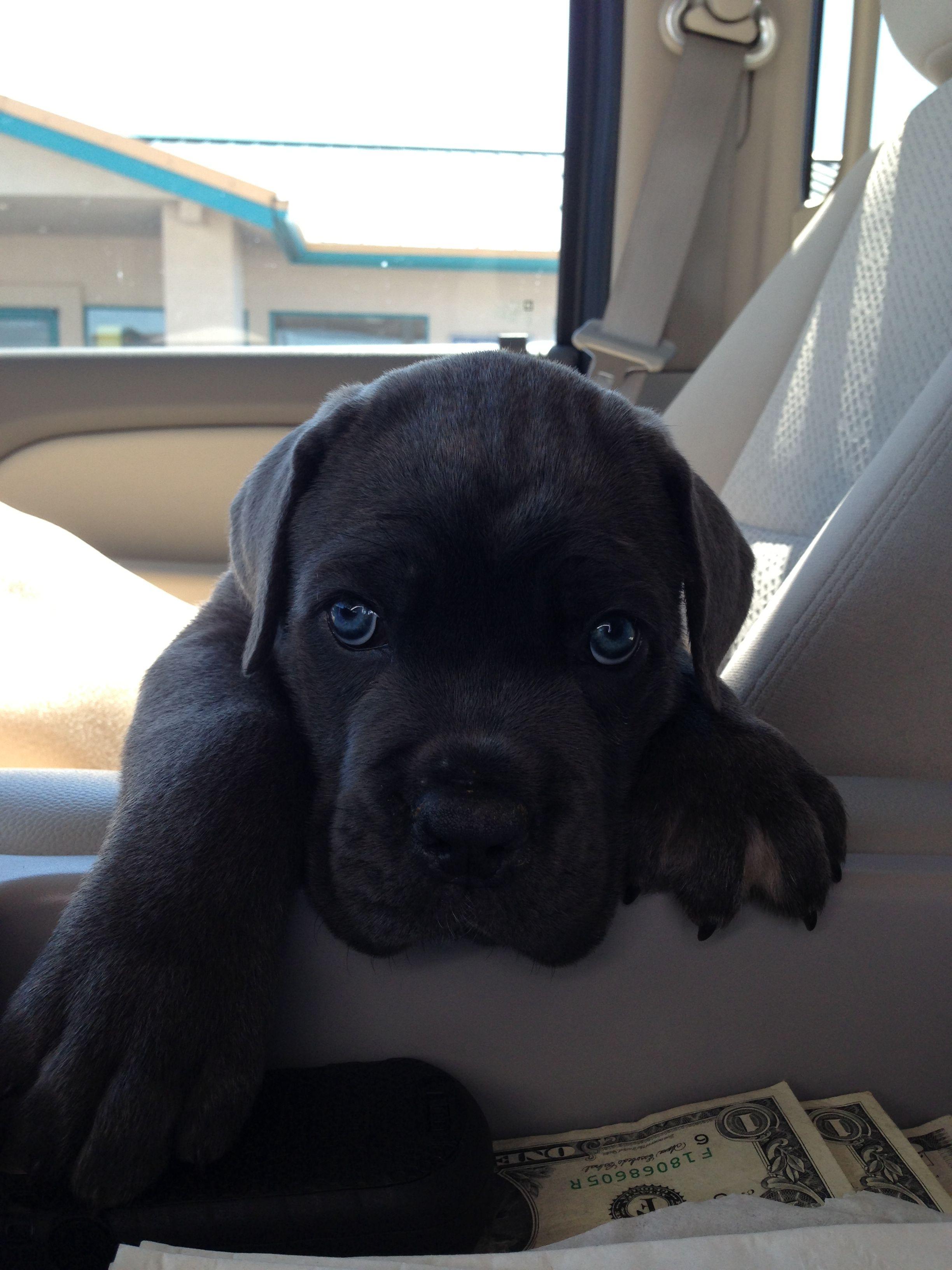Big Blue Eyed Boone Cane Corso Pitbull Puppies Cane Corso Mastiff