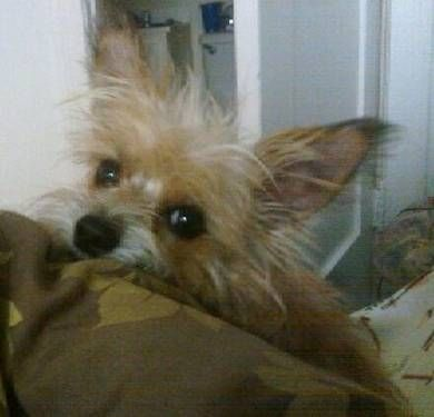 Chihuahua Cairrin Terrier Mix Little Mince Cairn Terrier